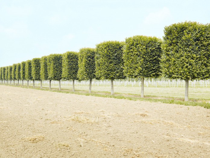 Rows of clipped trees, northern Germany