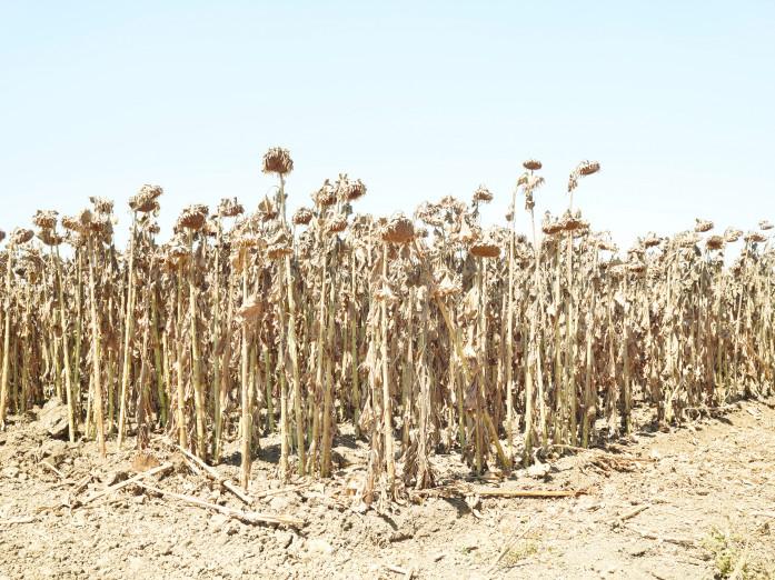 Ripe sunflowers near Chico, California