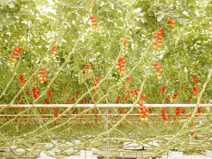 Tomato trusses in Middenmeer, the Netherlands