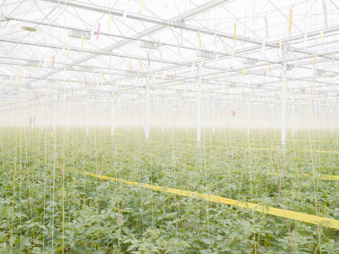 Tomato plantation in Middenmeer, the Netherlands