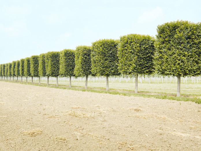 Baumreihen im Formschnitt, Norddeutschland