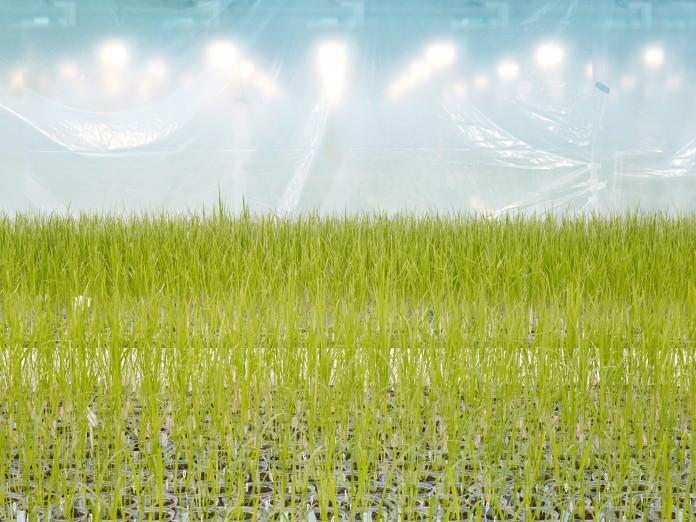 Anlage zur Entwicklung gentechnisch veränderter Reissorten, Belgien