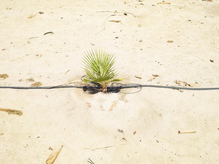 Jungpflanze in einer kalifornischen Baumschule