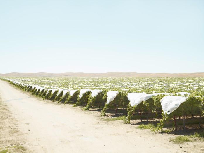 Wein in der Ebene von Shandon, USA