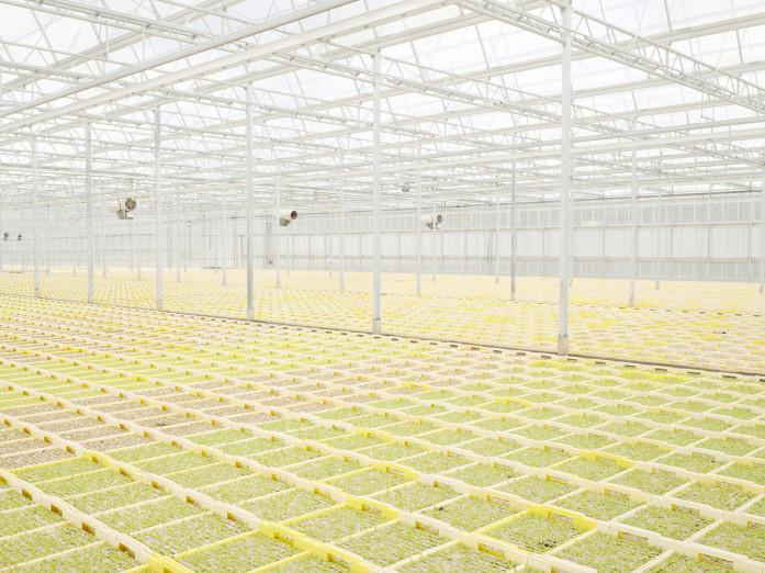 Anbau junger Salatpflanzen in Süddeutschland
