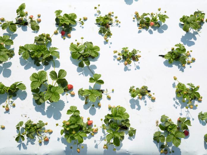 Erdbeeren in Folienkultur in der Nähe von Los Angeles, USA