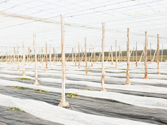 Junge Zucchinipflanzen in Folienkultur, Lorca, Spanien